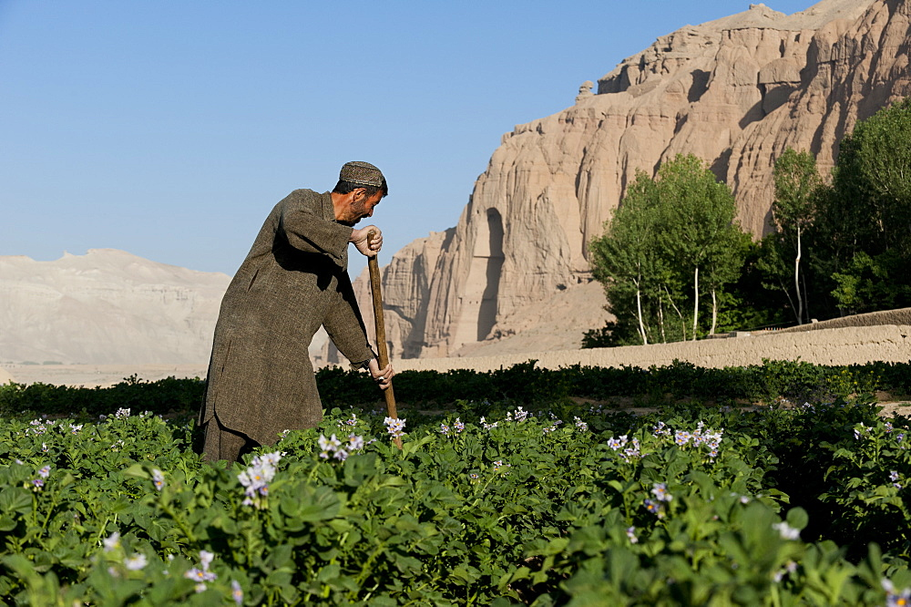 A famer works in potato fields with the ancient Buddha niches visible in the distance in Bamiyan Province, Afghanistan, Asia