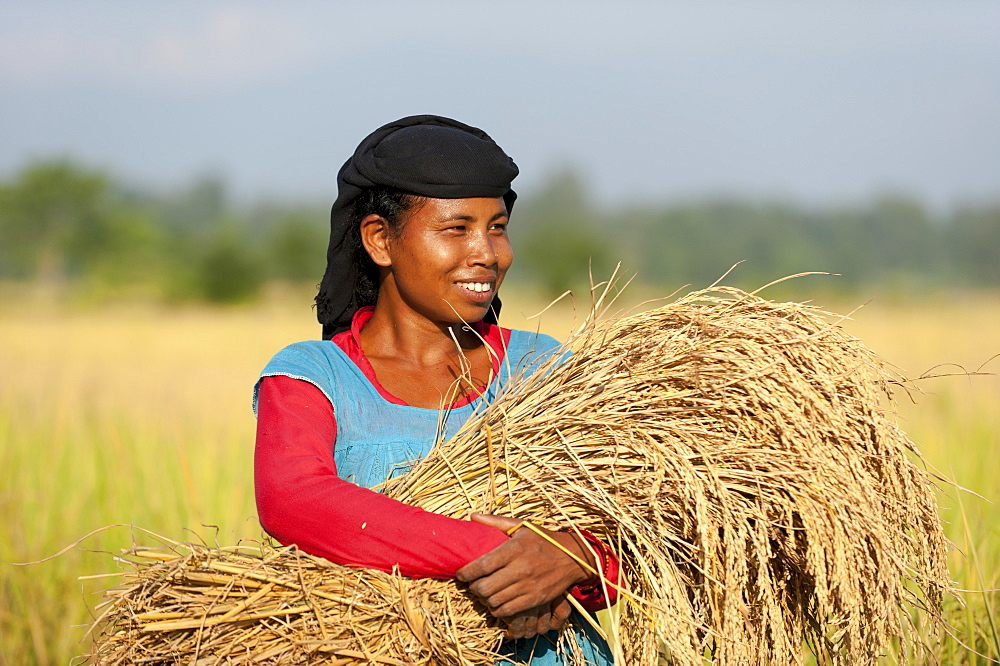 A Nepali woman carries a bundle of harvested rice, Bardiya District, Nepal, Asia