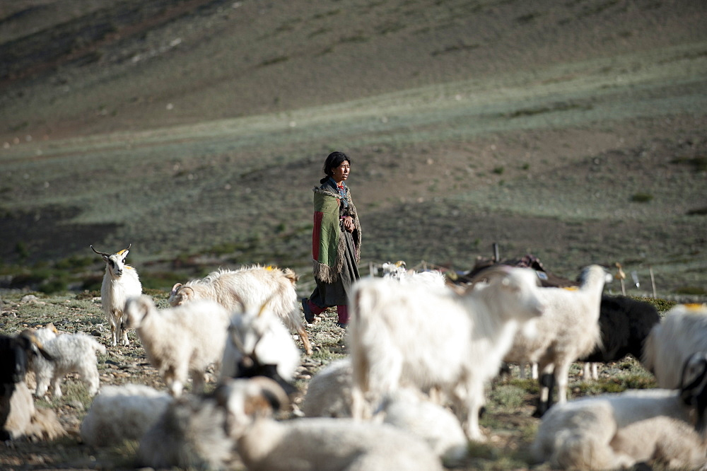 A Ladakhi nomad gathers her goats in the morning at Rina nomad camp, Ladakh, India, Asia
