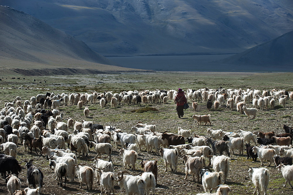If not the land of milk and honey, the rangelands are still the province of milk, meat and wool, Ladakh, India, Asia