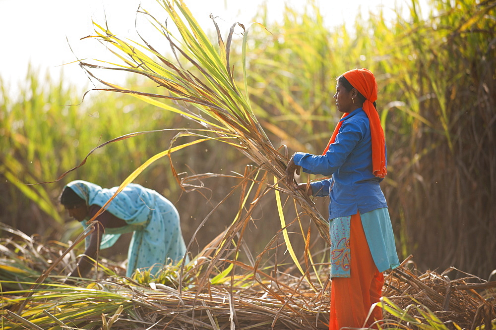 Women harvest sugarcane in India