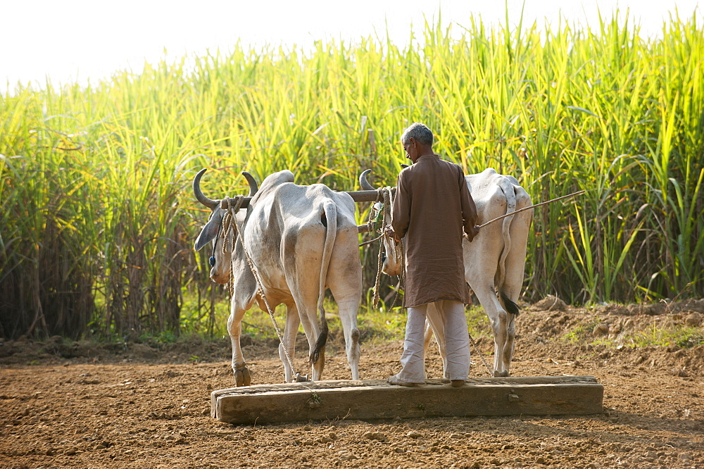 A man works with a traditional plough being pulled by cows surrounded by fields of sugarcane in India