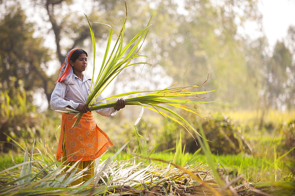 A woman harvests sugarcane, Uttarakhand (Uttaranchal), India, Asia