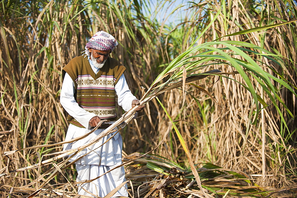 A man trims off the excess leaves from a bunch of sugarcane in India