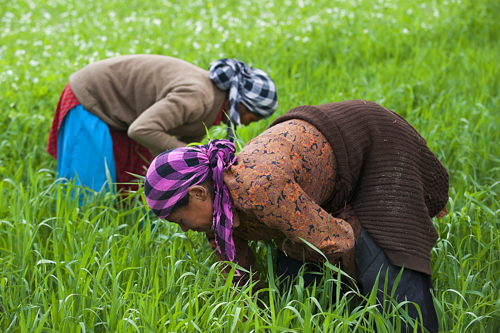 Women clear away weeds from among the wheat, Ladakh, India, Asia