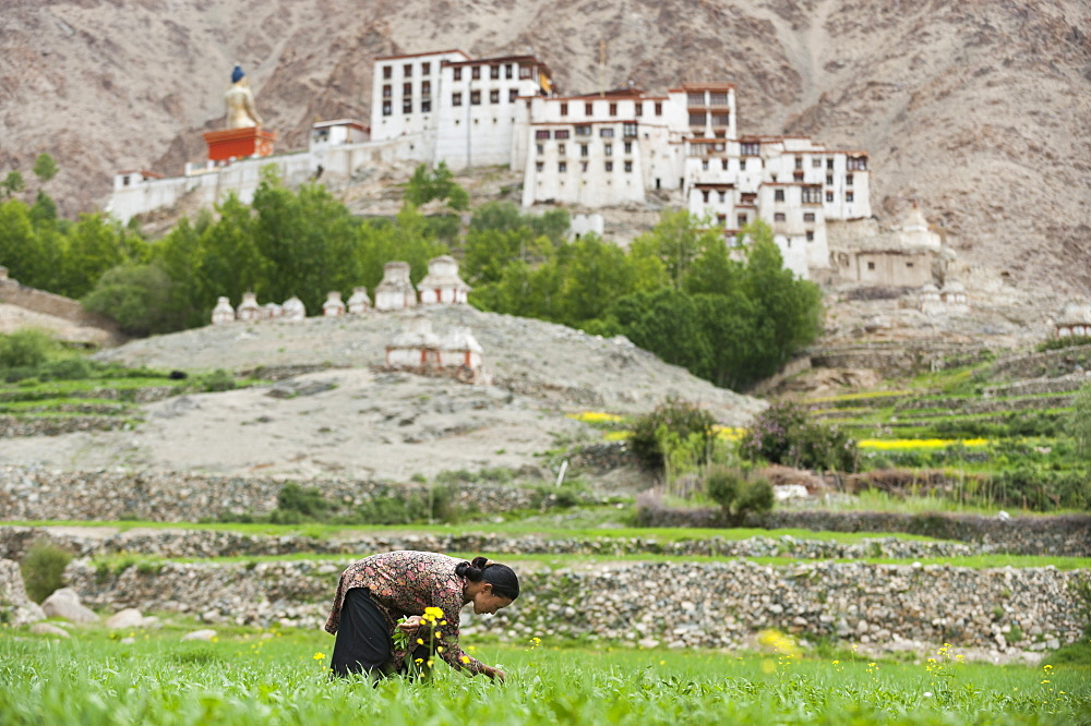 In the remote region of Ladakh in northern India a woman works in a wheat field with a view of Likir monastery in the distance