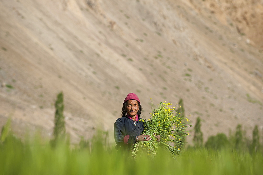 Collecting flowers which will be used to feed the animals in Ladakh, India, Asia
