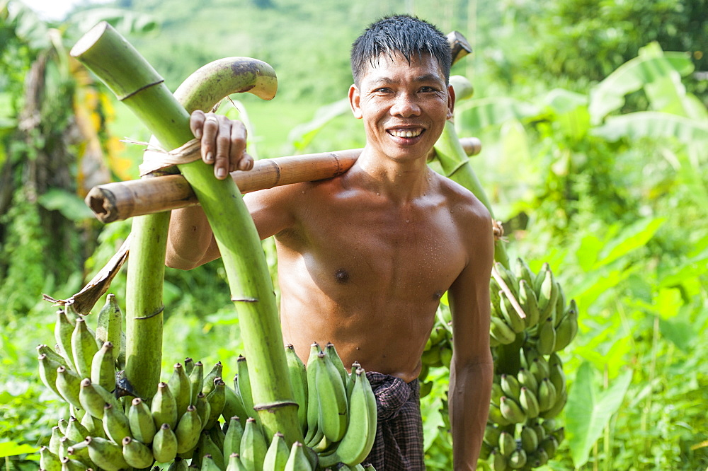 A mans carries freshly harvested bananas across a bamboo pole, Chittagong Hill Tracts, Bangladesh, Asia