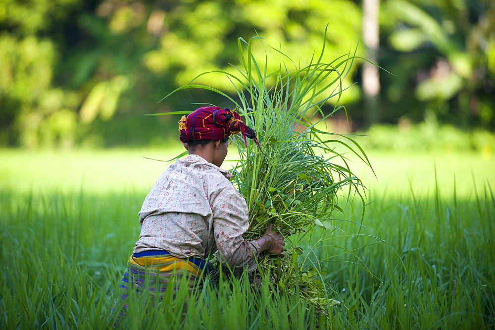 A woman clears away grass from the rice paddies, Chittagong Hill Tracts, Bangladesh, Asia