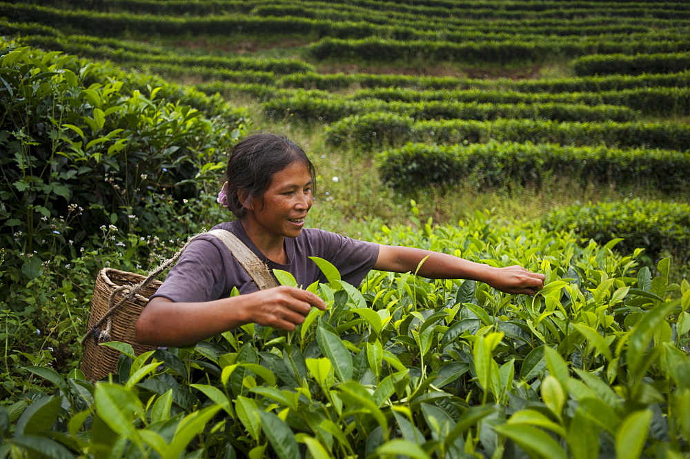 Picking tea leaves on a Puer tea estate in Yunnan Province, China, Asia
