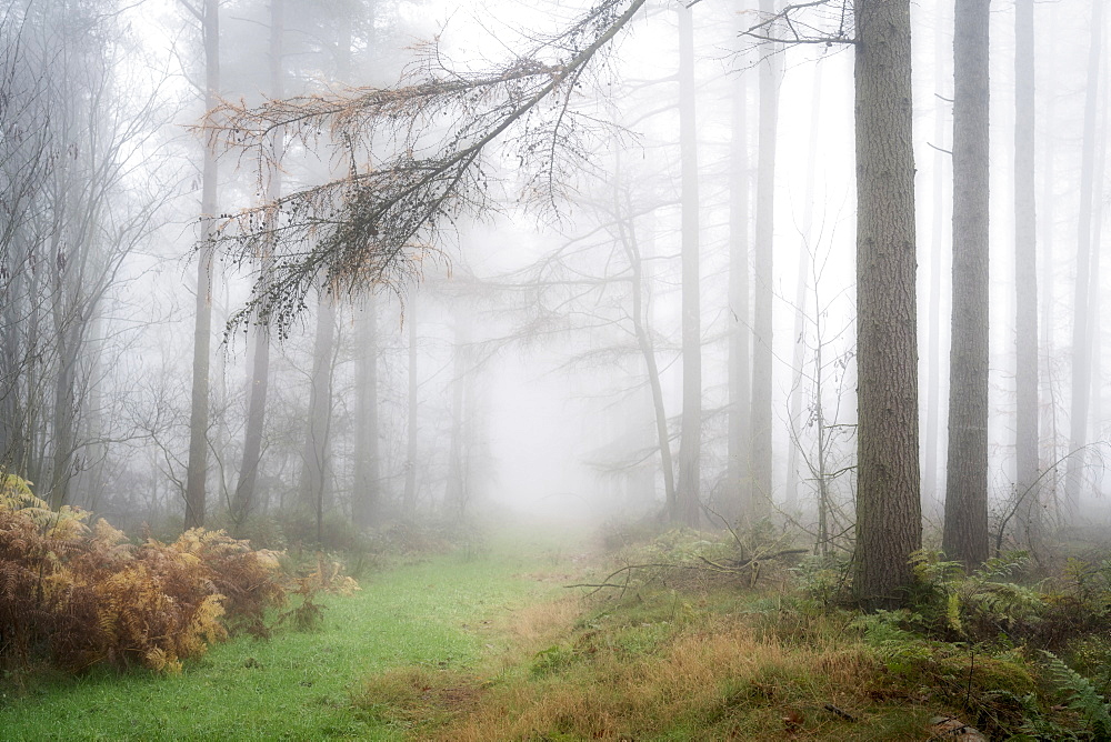 Foggy autumn woods at Wass Bank near Helmsley, The North Yorkshire Moors, Yorkshire, England, United Kingdom, Europe - 1228-125