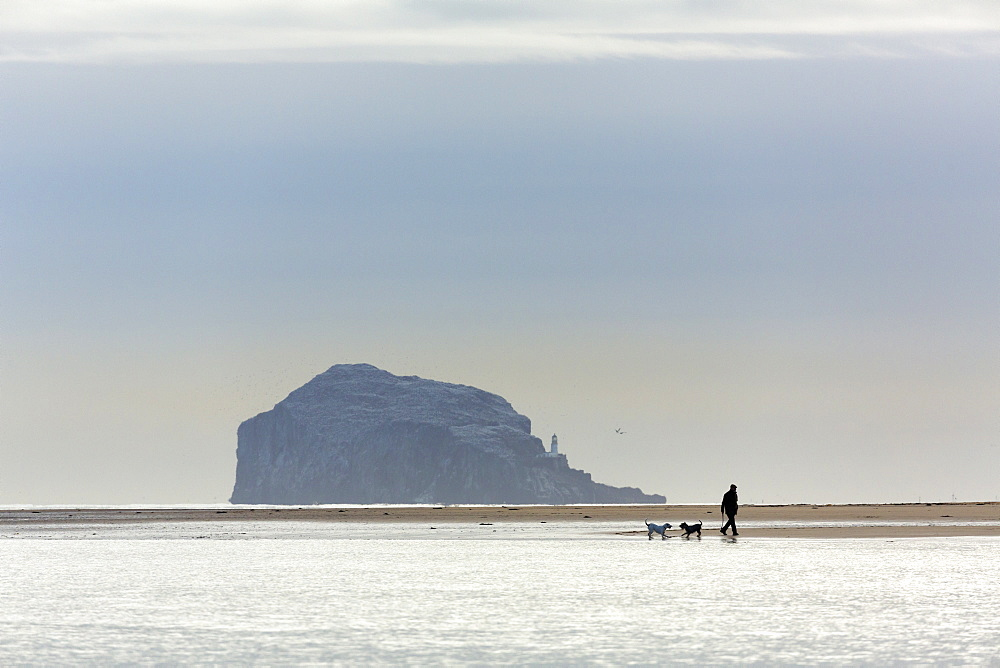 An elderley gentleman walking two dogs on the beach near North Berwick, East Lothian, Scotland, United Kingdom, Europe