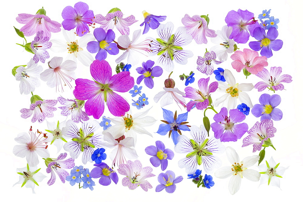 Spring flowers, geraniums, borrage, herb, blue, white, pink arranged on white background