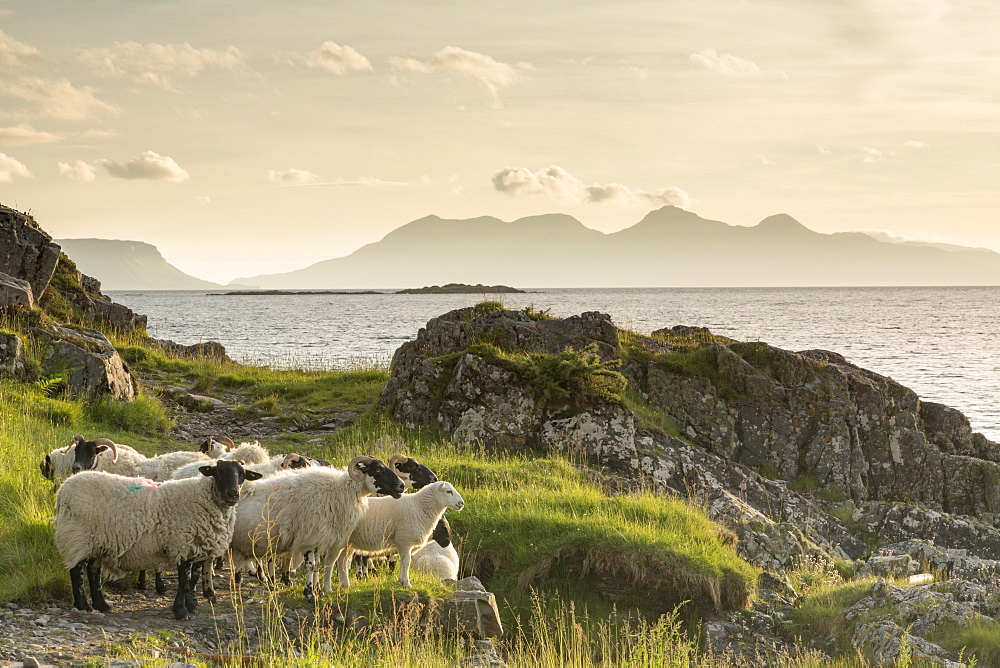 Sheep on the beach at Camusdarach, Arisaig, Highlands, Scotland, United Kingdom, Europe