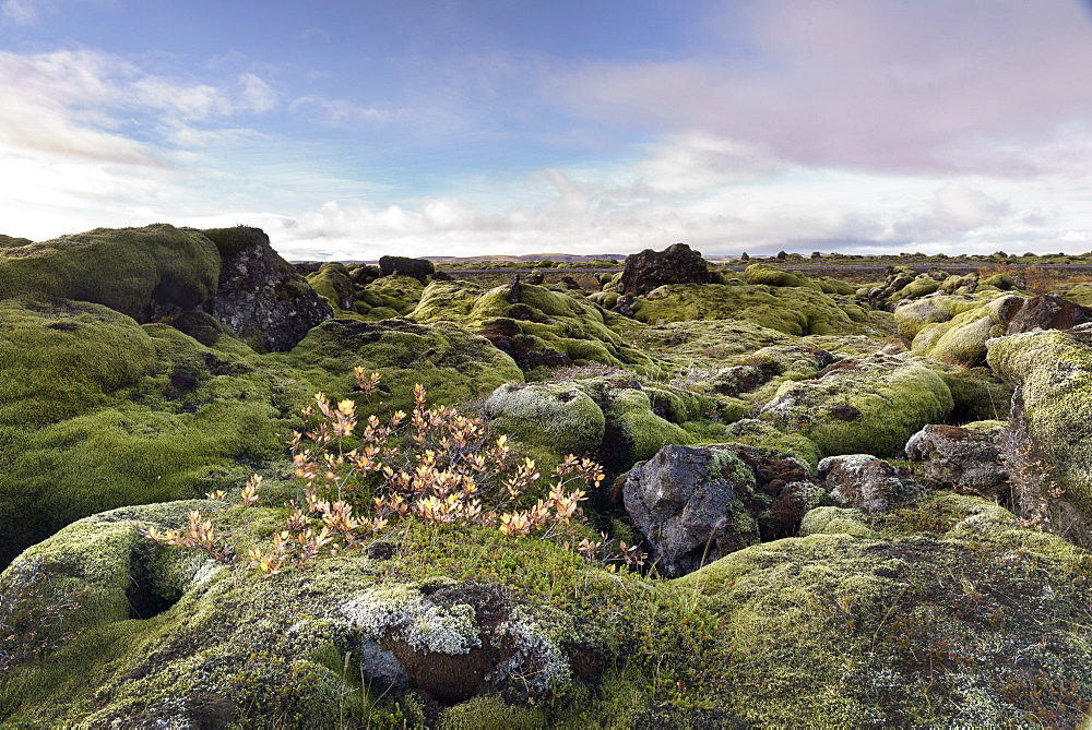 Moss heath vegetation on lava boulder field, South Iceland, Polar Regions