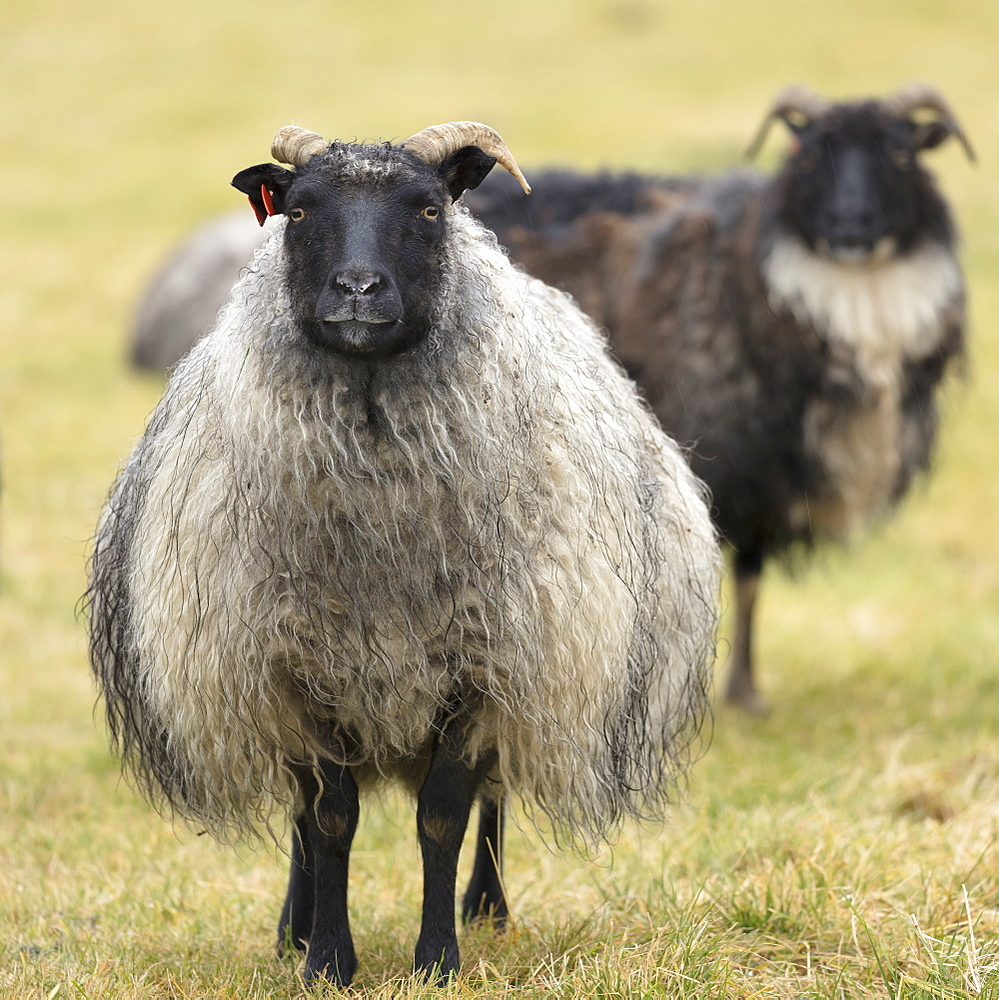 Icelandic sheep, Kirkjufell, Iceland, Polar Regions