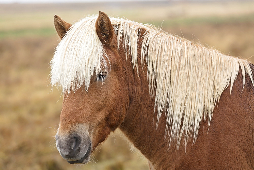 Icelandic horse, Snaefellsnes peninsula, Iceland, Polar Regions - 1228-36