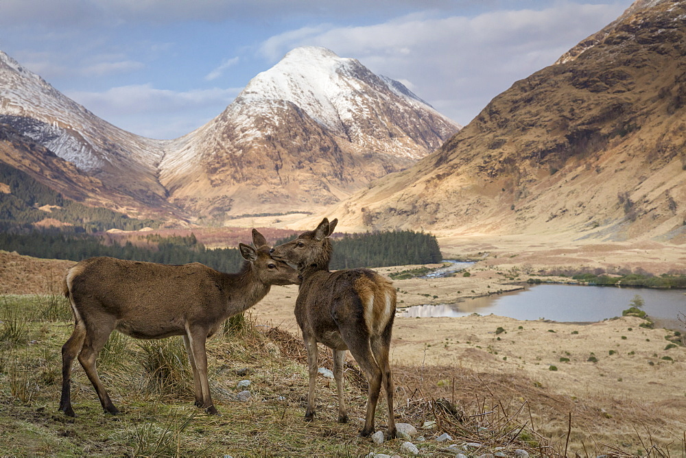 Red deer in Glen Etive, Glencoe, Highlands, Scotland, United Kingdom, Europe - 1228-64