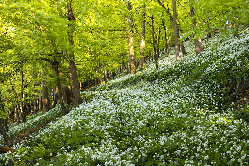 A carpet of wild garlic (ramsons) on a hilly section of this British deciduous woodland in springtime, United Kingdom, Europe