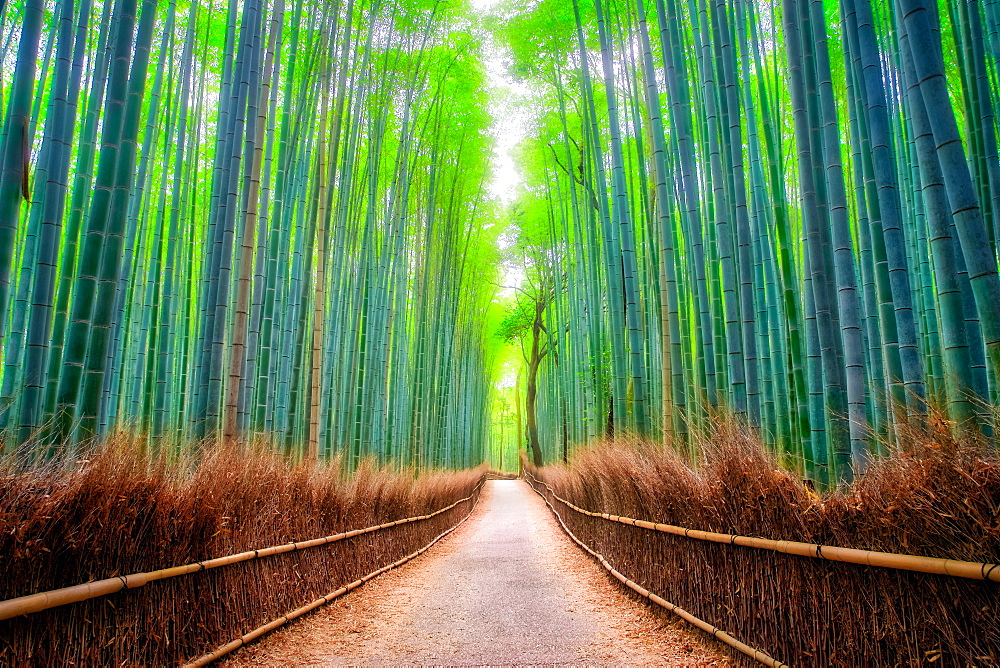 A path winds through an ancient bamboo forest in Kyoto, Japan, Asia