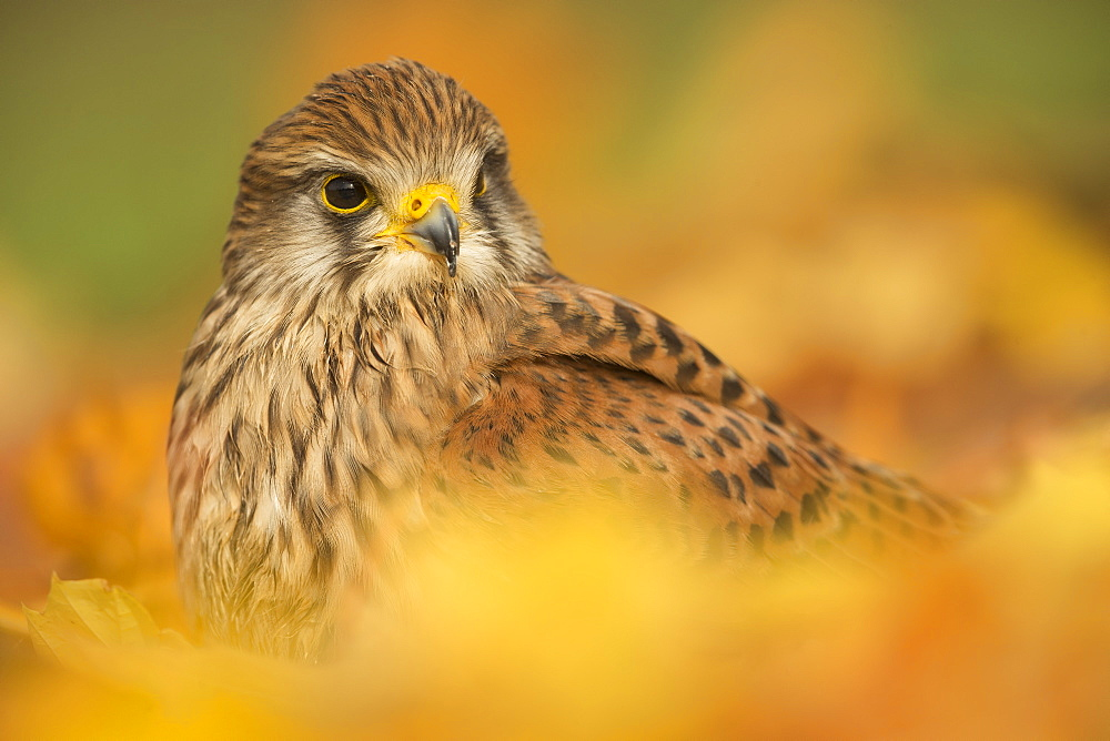 Common kestrel (Falco tinnunculus), among autumn foliage, United Kingdom, Europefoliage.