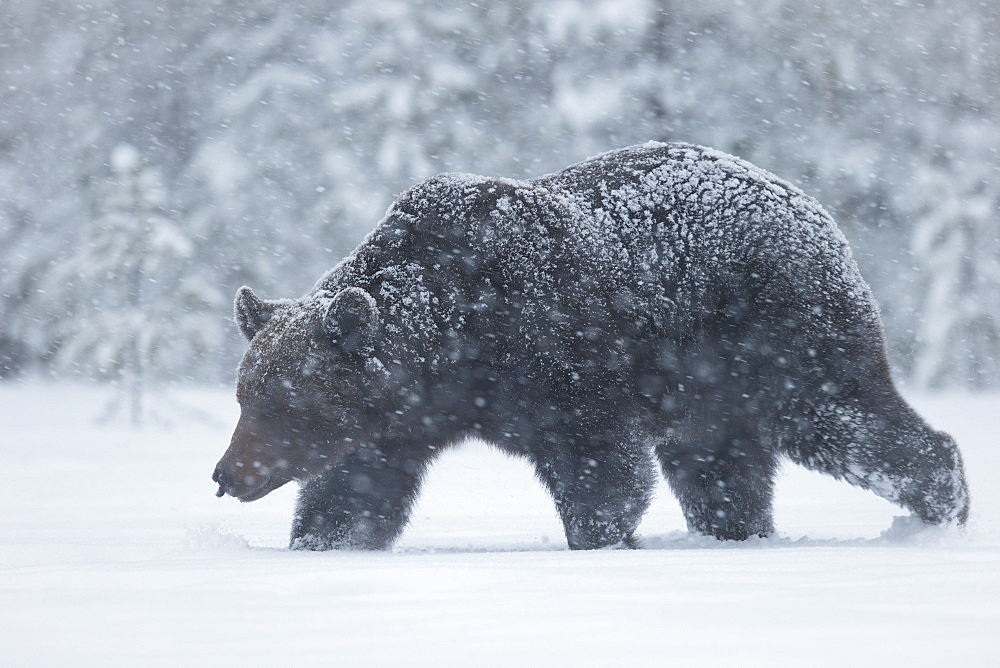 European brown bear walking in a blizzard, Finland, Scandinavia, Europe