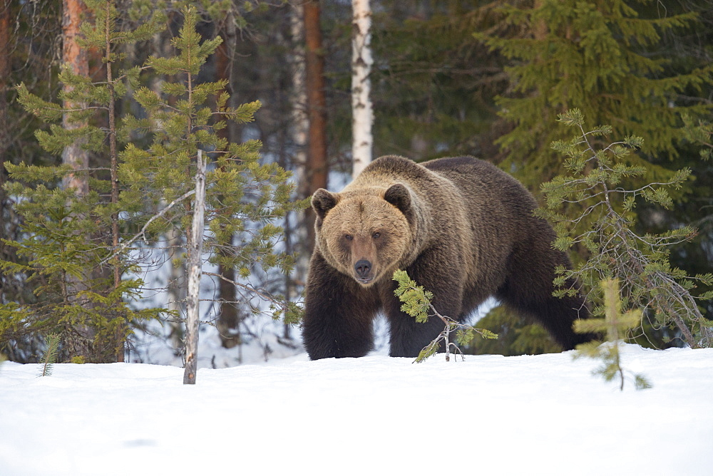 Brown Bear (Ursus arctos) during spring snowfall, Finland, Scandinavia, Europe