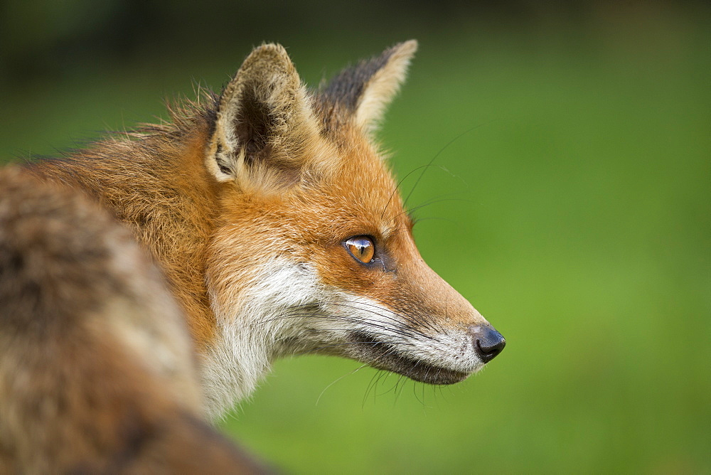 Red fox head portrait, Suffolk, England, United Kingdom, Europe