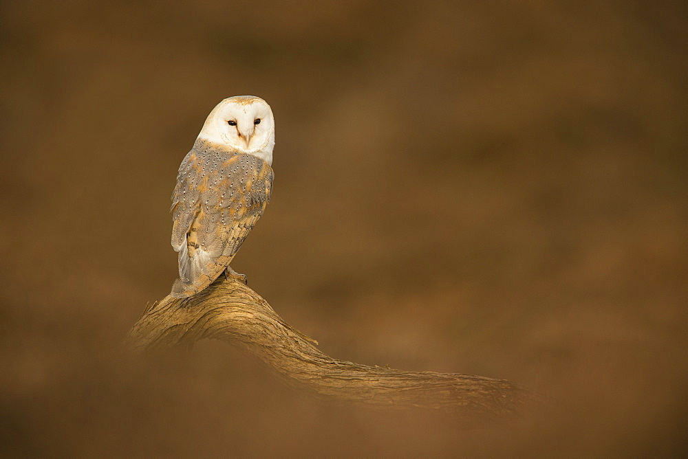 Barn owl (Tyto alba) perched on fallen log, United Kingdom, Europe