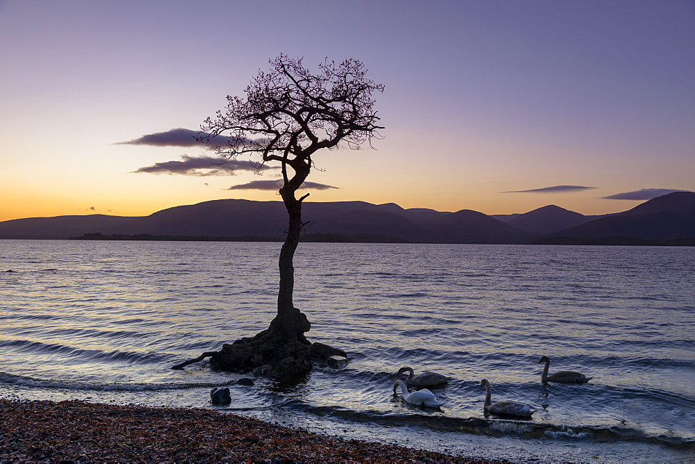 Lone tree with swans, Milarrochy Bay, Loch Lomond, Scotland, United Kingdom, Europe - 1237-164