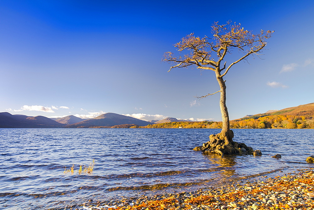 Lone tree, Milarrochy Bay, Loch Lomond, Scotland, United Kingdom, Europe - 1237-178