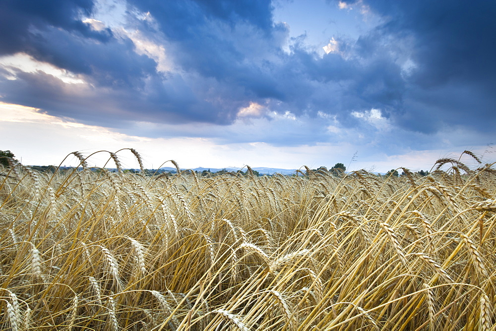 Barley Field (Hordeum vulgare L.) and clouds, near Vienna, Austria, Europe