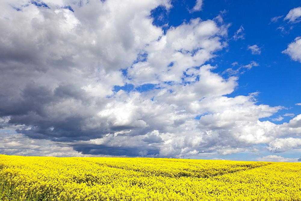 Rape field, Rapeseed (Brassica napus), Perthshire, Scotland, United Kingdom, Europe