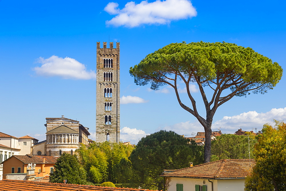Basilica of San Frediano, Pinus Pinaster pine tree, Lucca, Tuscany, Italy, Europe