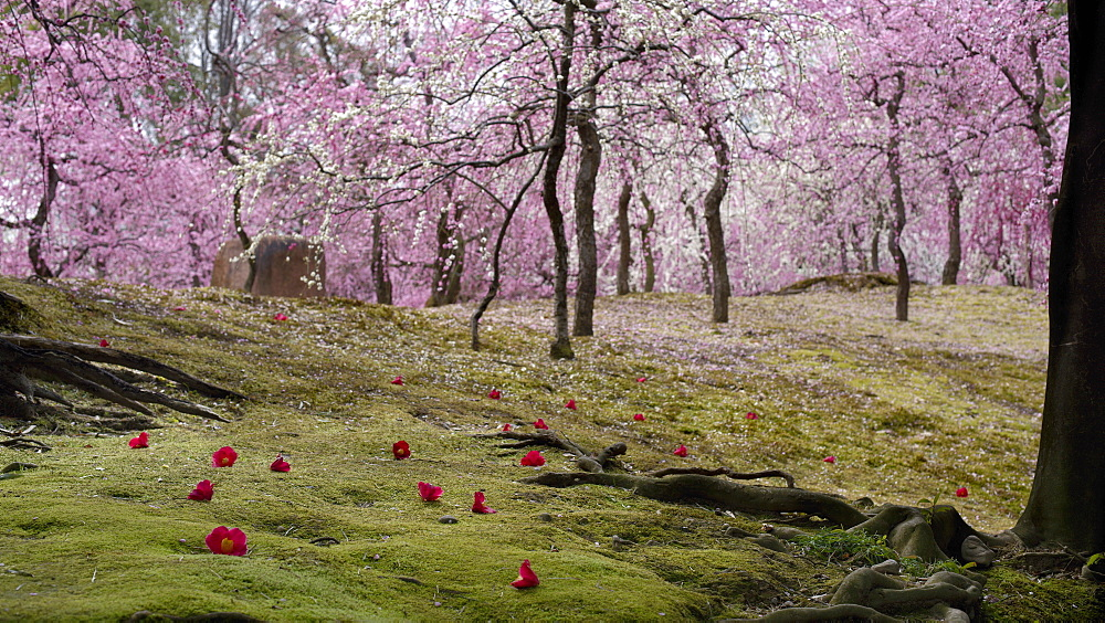 Camelia fallen on moss garden during plum blossom, Jonan-gu shrine, Kyoto, Japan, Asia