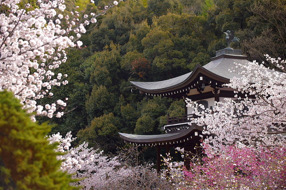 Cherry blossoms in Kaju-ji temple, Kyoto, Japan, Asia - 1238-106