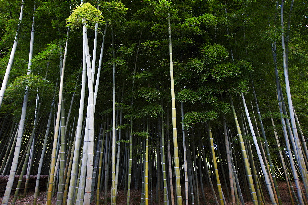 Bamboo forest in Arashiyama, Kyoto, Japan, Asia - 1238-110