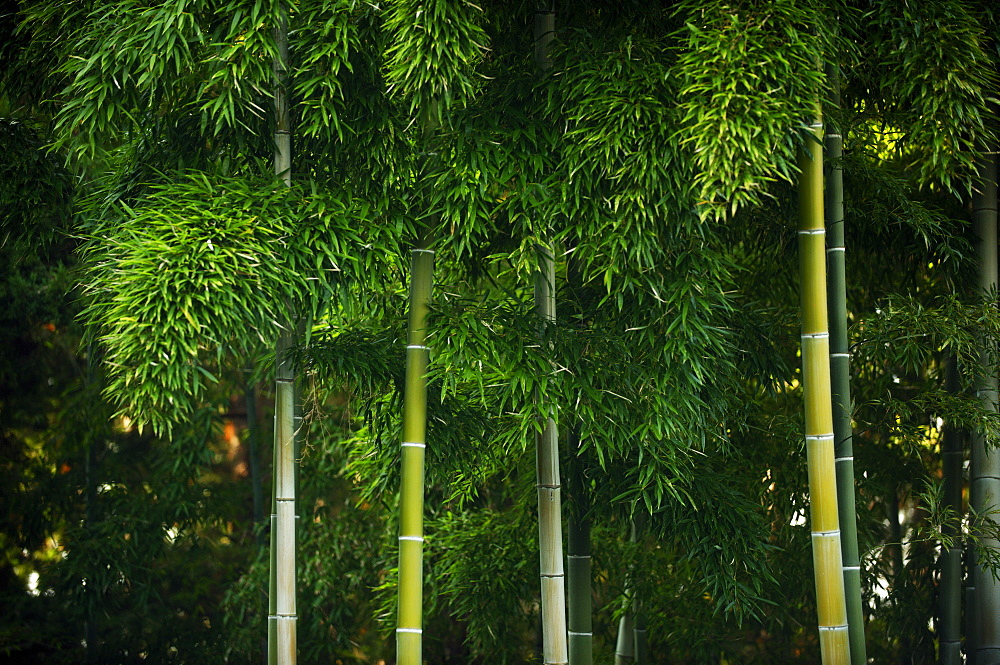 Bamboo grove in Kennin-ji temple, Kyoto, Japan, Asia