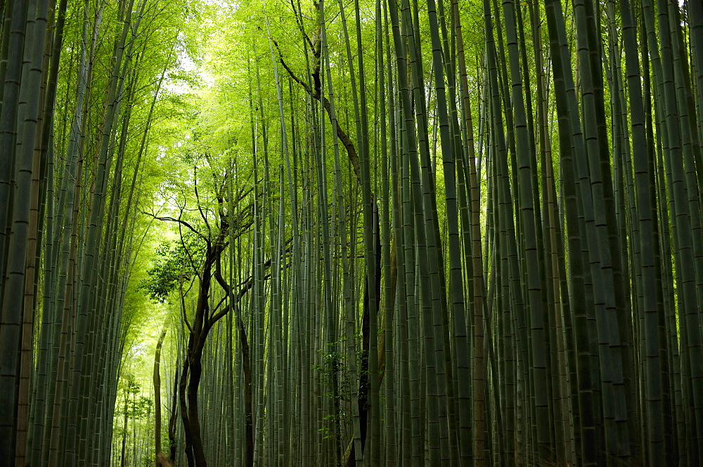 The Arashiyama Bamboo Alley, Kyoto, Japan, Asia