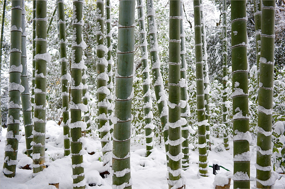 Snow-laden bamboo, Kodai-ji temple, Kyoto, Japan, Asia