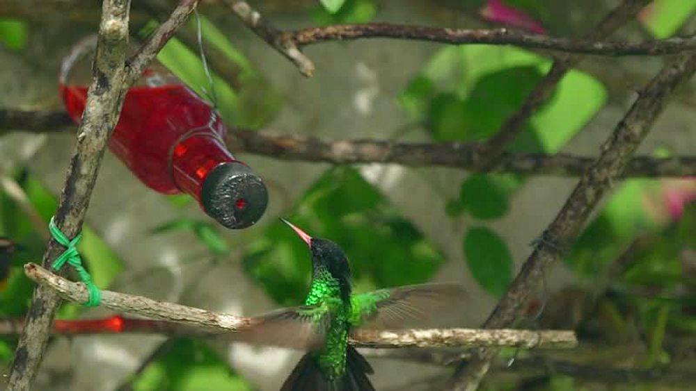 Hummingbirds, Jamaica, West Indies, Caribbean, Central America - 1239-9