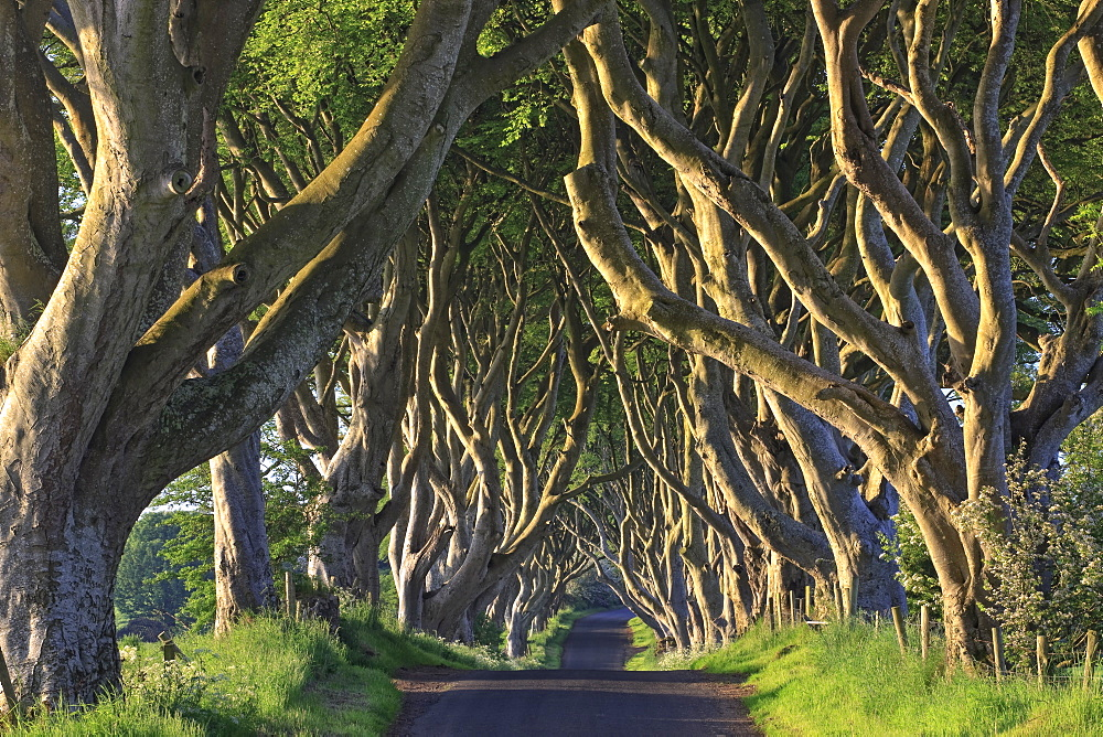 The Dark Hedges, Ballymoney, County Antrim, Ulster, Northern Ireland, United Kingdom, Europe