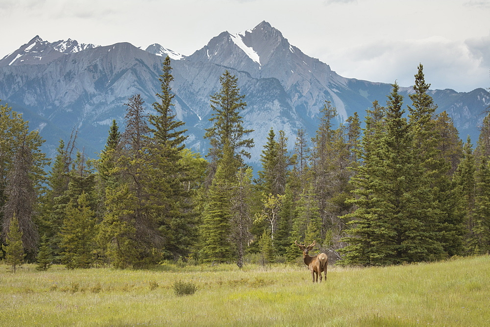 Elk with Rocky Mountains in the background, Jasper National Park, UNESCO World Heritage Site, Alberta, Canada, North America - 1241-72
