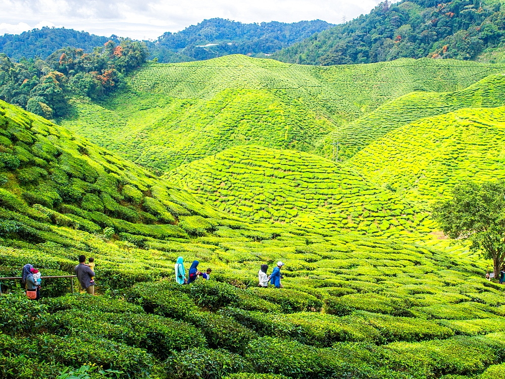 Tourists visit a tea plantation, Cameron Highlands, Malaysia, Southeast Asia, Asia