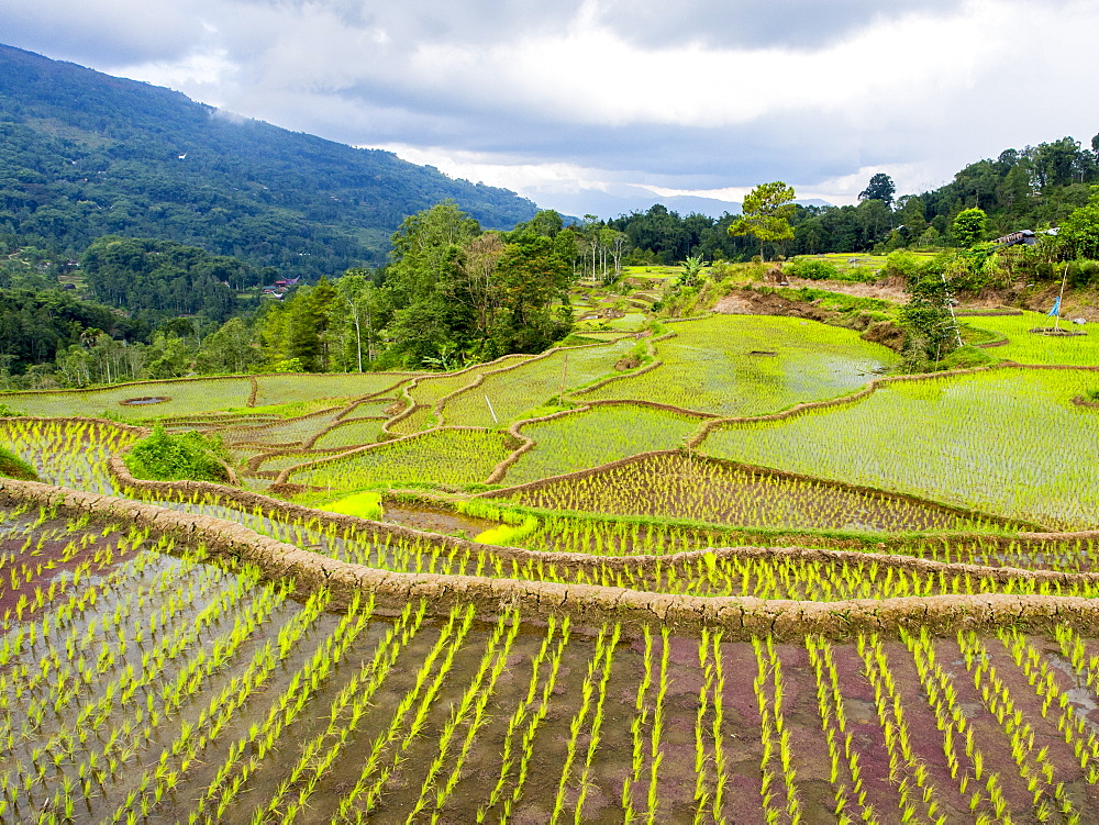 Rice paddies in Tana Toraja, Sulawesi, Indonesia, Southeast Asia, Asia