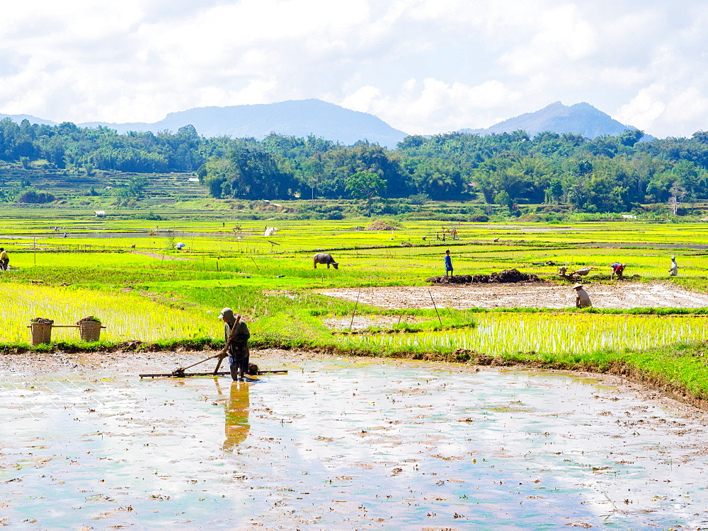 Leveling a rice field for planting. Tana Toraja, Sulawesi, Indonesia, Asia