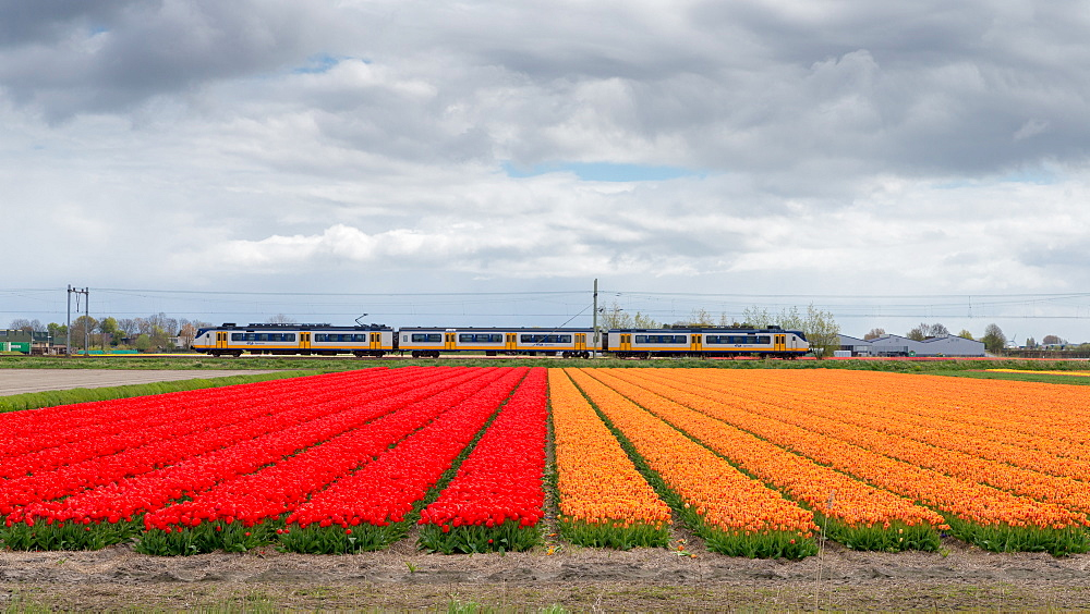 Bulbfields famous for colourful tulips, Lisse, The Netherlands, Europe - 1243-102