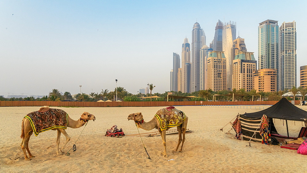Camels overlooking Jumeirah Beach Residence (JBR) in Dubai, United Arab Emirates, Middle East