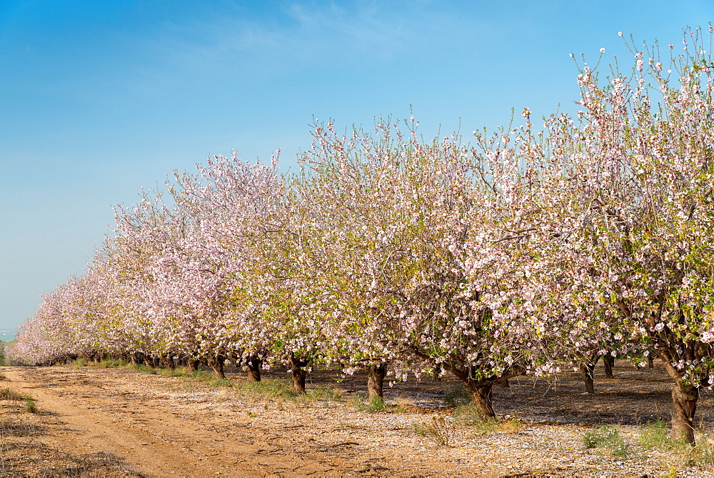 Almonds path in Israel in full bloom - 1243-58