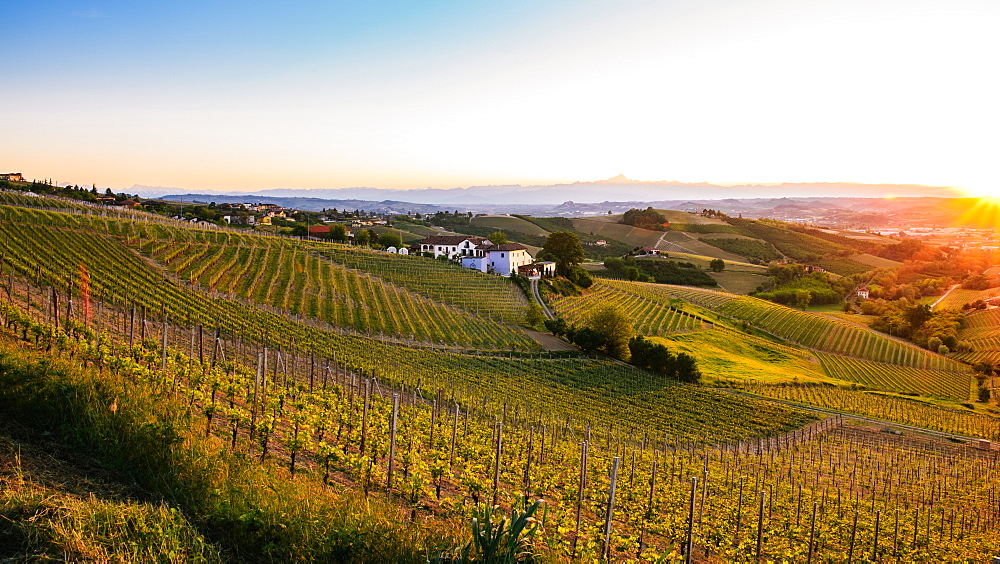 Vineyards in the Piedmont region of northern Italy, Europe